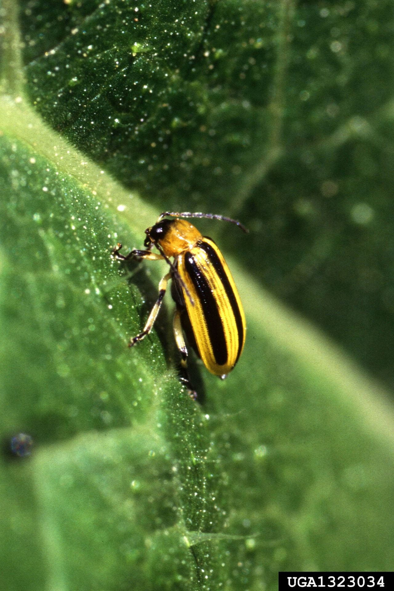 Photo of striped cucumber beetle