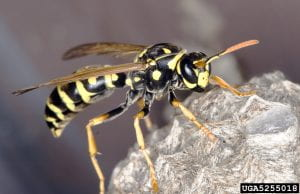 A black and yellow European paper wasp sits on a paper nest.