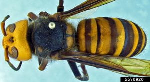 Pinned specimen of the large black and yellow Asian giant hornet, seen from above.