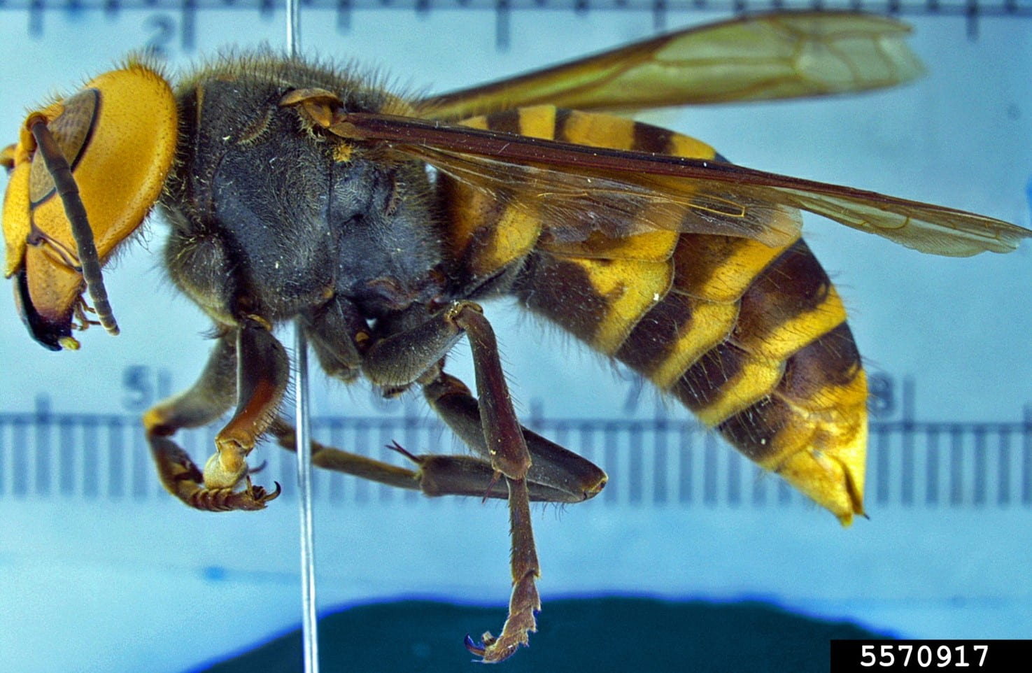 A pinned specimen of a large wasp, the Asian giant wasp from a side view.