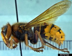 Pinned specimen of European hornet seen from the side