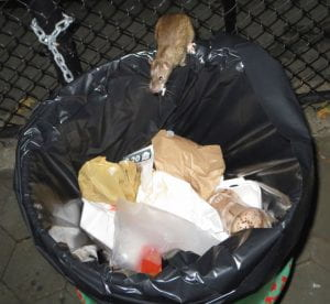 A rat standing on the edge of a metal garbage can with food in its mouth.