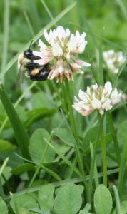 bumblebee on white clover