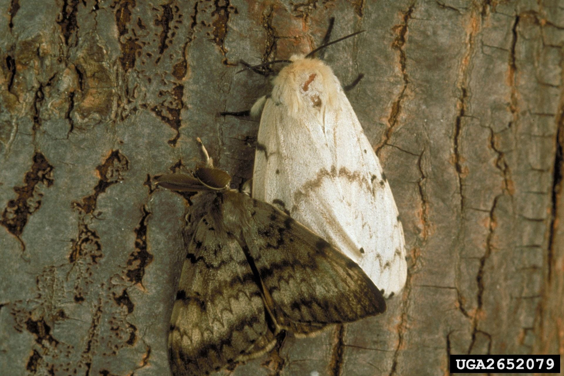 photo shows adult gypsy moths. Male is dark and female is light colored.