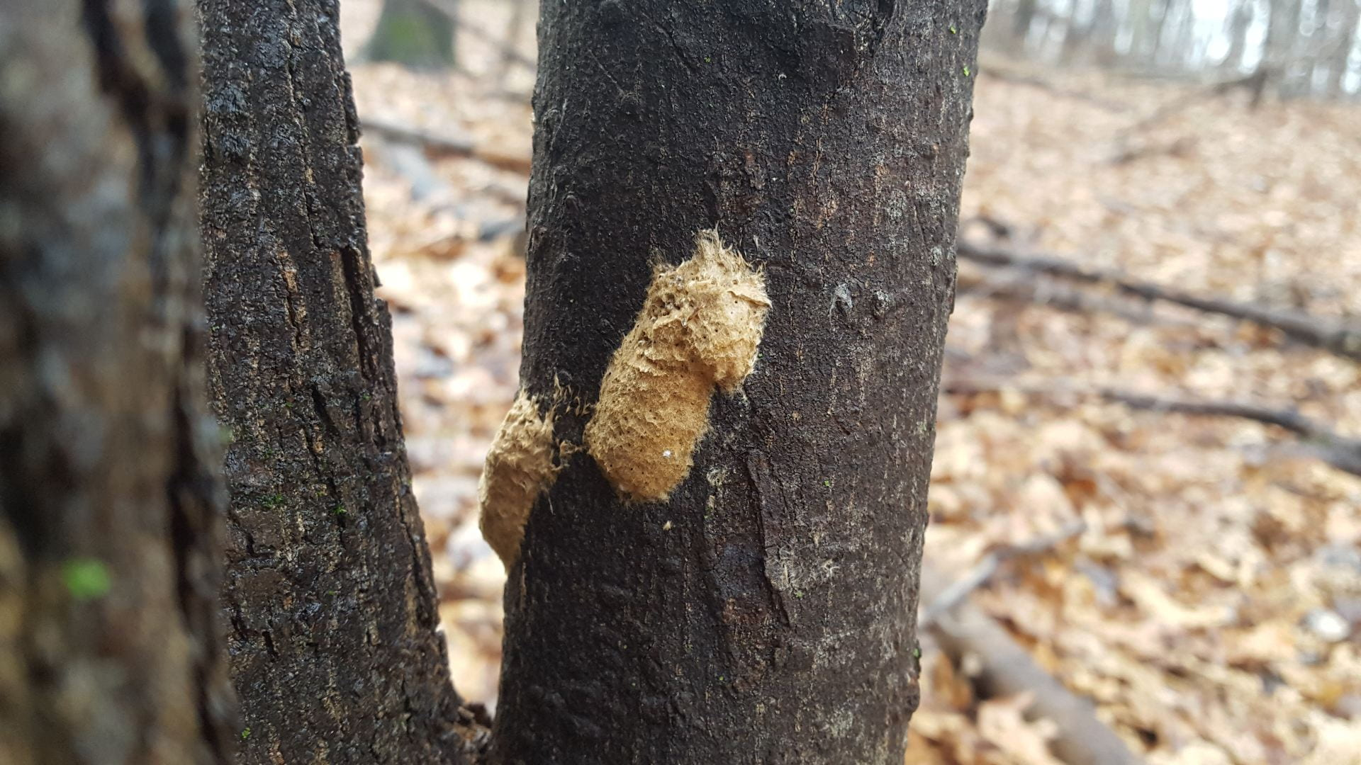photo shows gypsy moth egg cases on tree bark