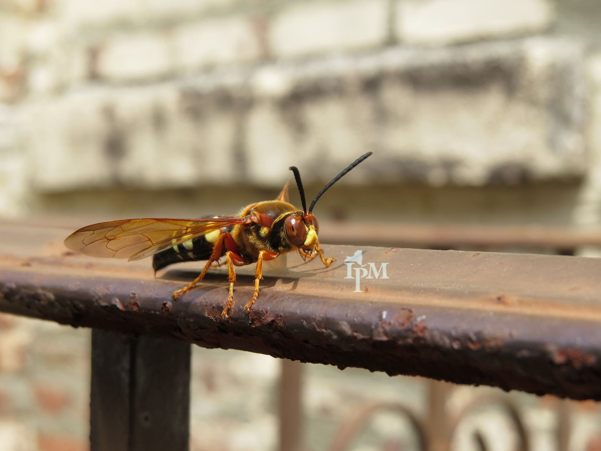 photo of cicada killer wasp