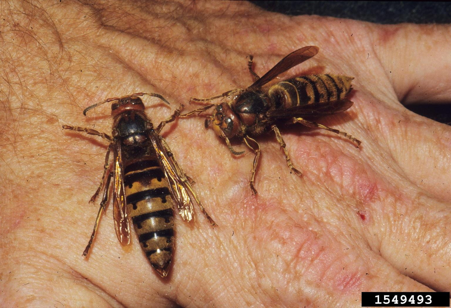 Photo shows two European hornet adults
