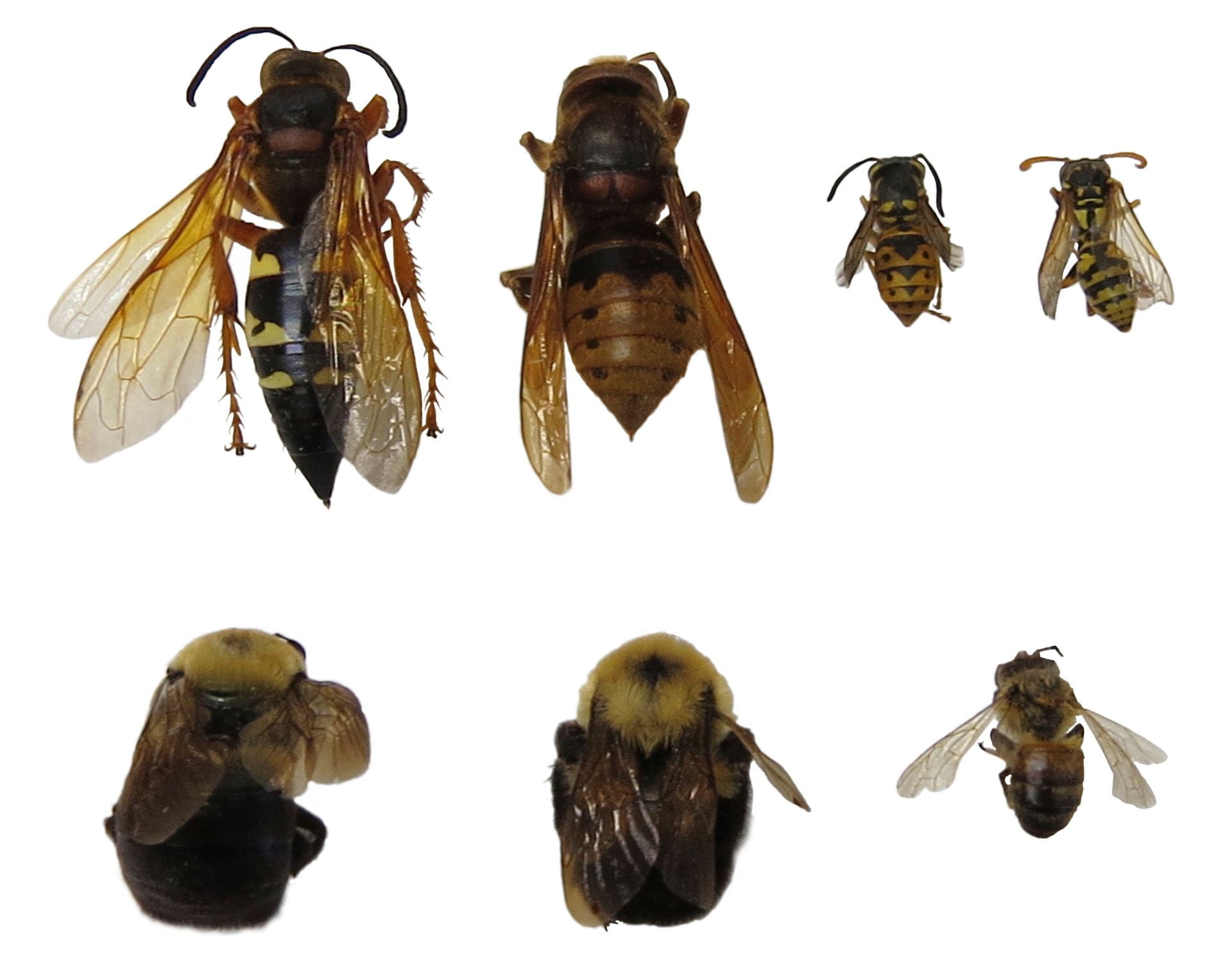 photo showing multiple types of hornets, wasps and bees for size comparison.
