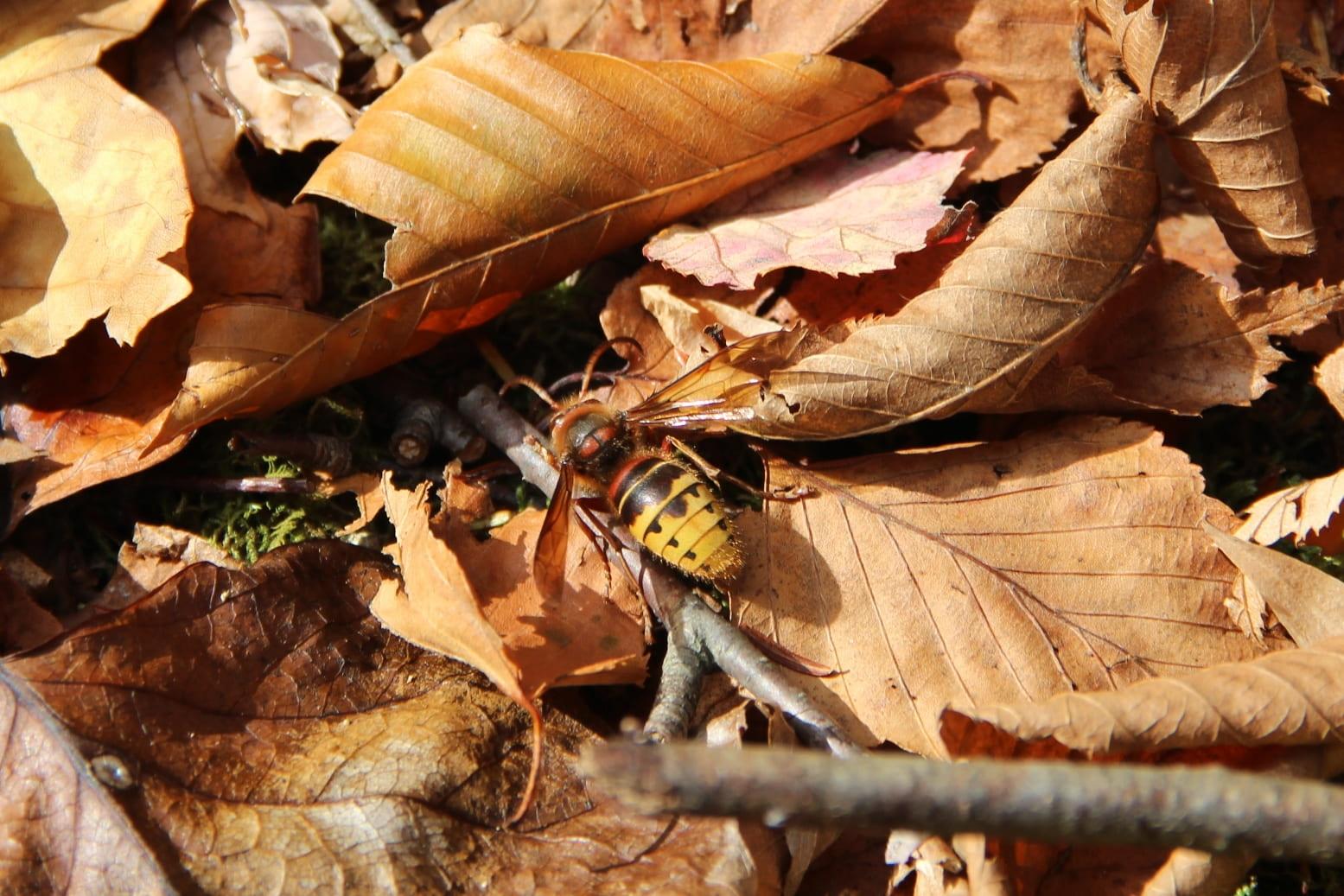 photo shows a male European hornet