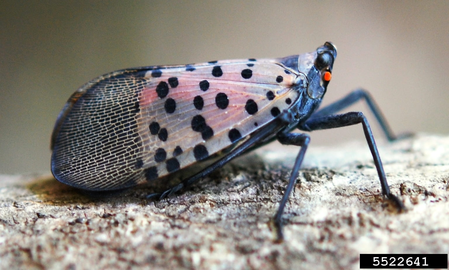 photo of an adult spotted lanternfly