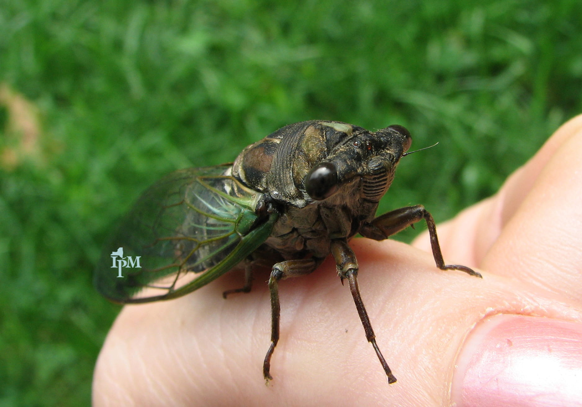 photo of typical, annual cicada