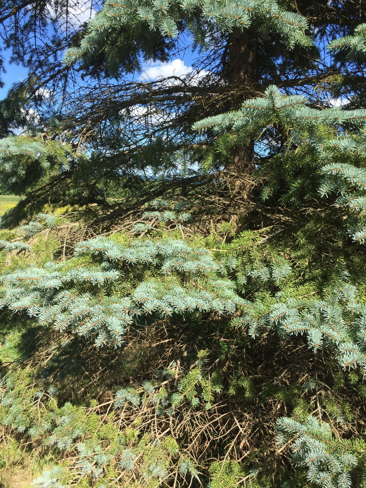 photo shows bare spots in blue spruce tree