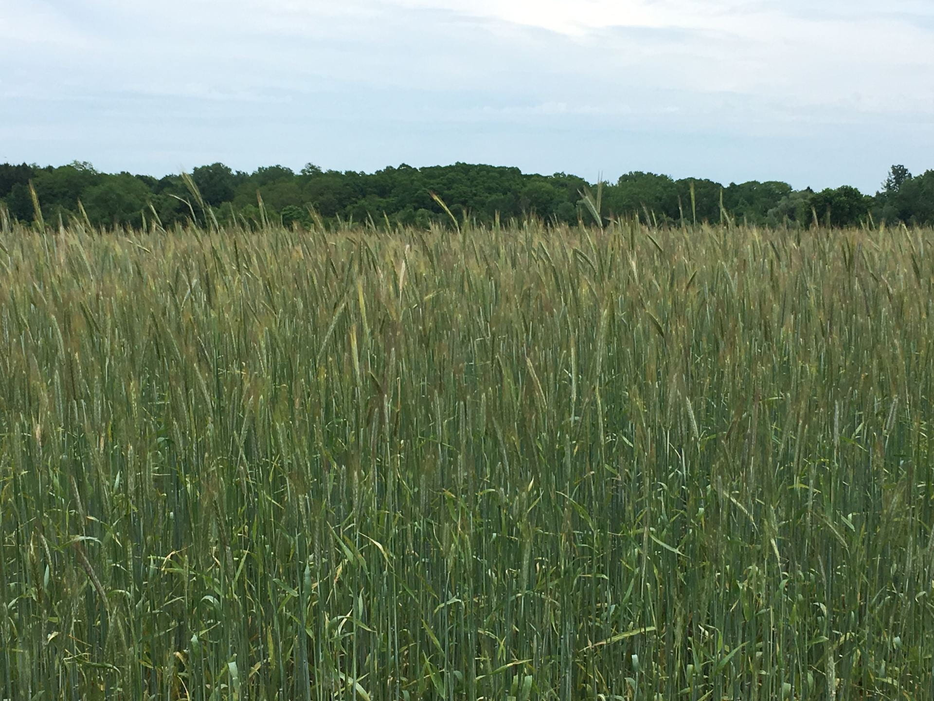 photo of cereal rye grass cover crop