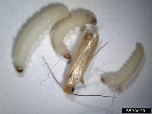 A small tan moth, the webbing clothes moth, with three 5th instar larvae