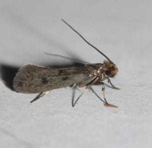 Small brown casemaking moth,
