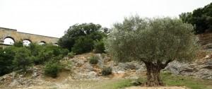 old olive tree!