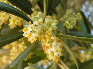 Olive Trees Flowering