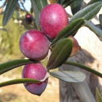 Violette de Montpellier olive