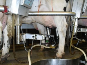 Cow hooked up to the milking machine.