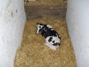 The young heifer calf Allie a few days after she was prematurely born.