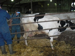 "A vet checking a ""fresh"" cow for uterine infection after recently calving."