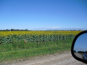 Field of sunflowers owned by the farm.