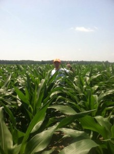 Chest high corn plots already