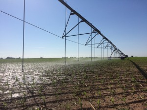 Sprinklers irrigating juvenile corn.