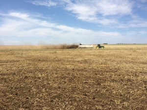 Spreading dry manure on wheat stubble to fertilize and reduce erosion.