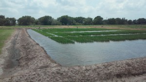 This is a rice research plot presented at the Eagle Lake Rice Field Day in Eagle Lake, Texas.