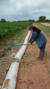 The plastic irrigation pipe sometimes must be modified when used in an experimental trial. Here I am making holes in the pipe to only flood certain rows containing the Johnsongrass,