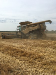 Harvesting the wheat trial