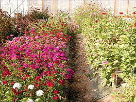 Growing flowers in beds uses space efficiently, and makes weed control and irrigation easier.