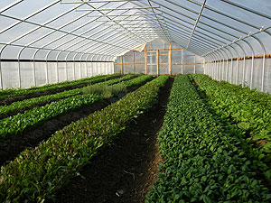 Gothic-style tunnels have peaked roofs that shed snow better than hoop-houses, an important consideration if you are planning to grow greens overwinter.