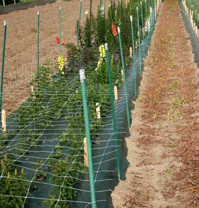 Horizontal trellis helps suppor plants.