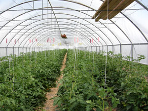 Hoop-houses with straight sidewalls allow you to grow taller crops in rows bordering the edge of the structure, like the vertically trellised indeterminate tomatoes