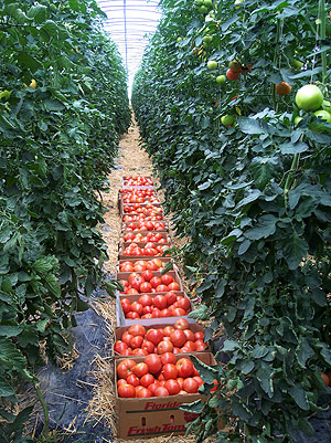 High tunnels can boost tomato yields, reduce disease and improve fruit quality.