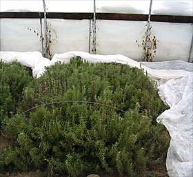 Rosemary overwintering in high tunnel at Kingbird Farm, Berkshire, N.Y.