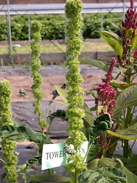 Amaranthus 'Tower Green'.