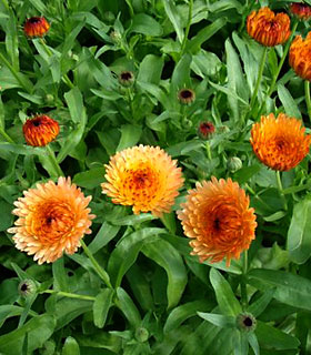 Calendula 'Art Shades Mixed'