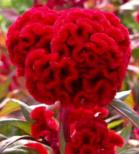 'Temple Belle New Scarlet' is a Cristata group celosia.