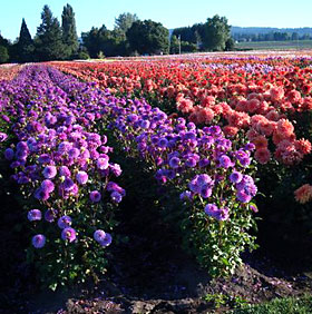 Field-grown dahlias at Swan Island Dahlias, Canby, Oregon