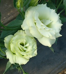 'Arena 1 Green' is a double lisianthus. The frilly petal edges make the flowers look fuller.