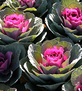 Ornamental kale 'Crane Red', a hybrid variety with good uniformity