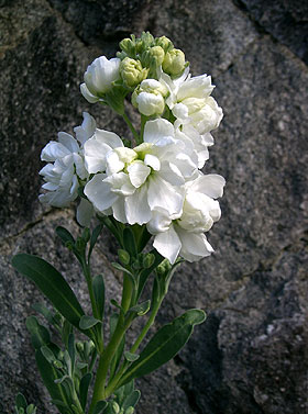 A double-flowered stock. http://hightunnels.cals.cornell.edu/flowers/cut-flowers/cut-flower-crops/snapdragon/