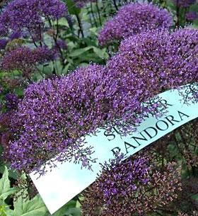 Trachelium 'Summer Pandora'