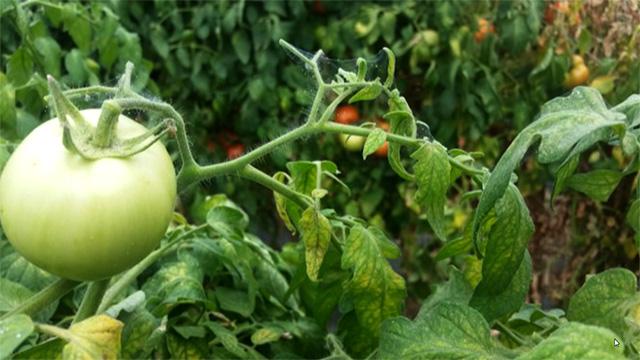 tssm on tomato