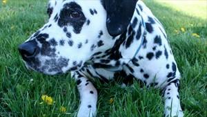 Fred the Dalmatian, RIP