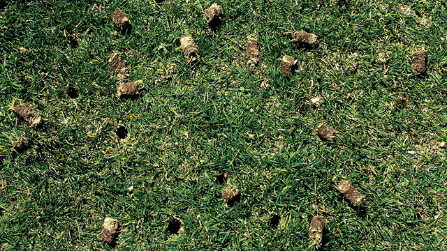 Plugs on lawn after core aeration.