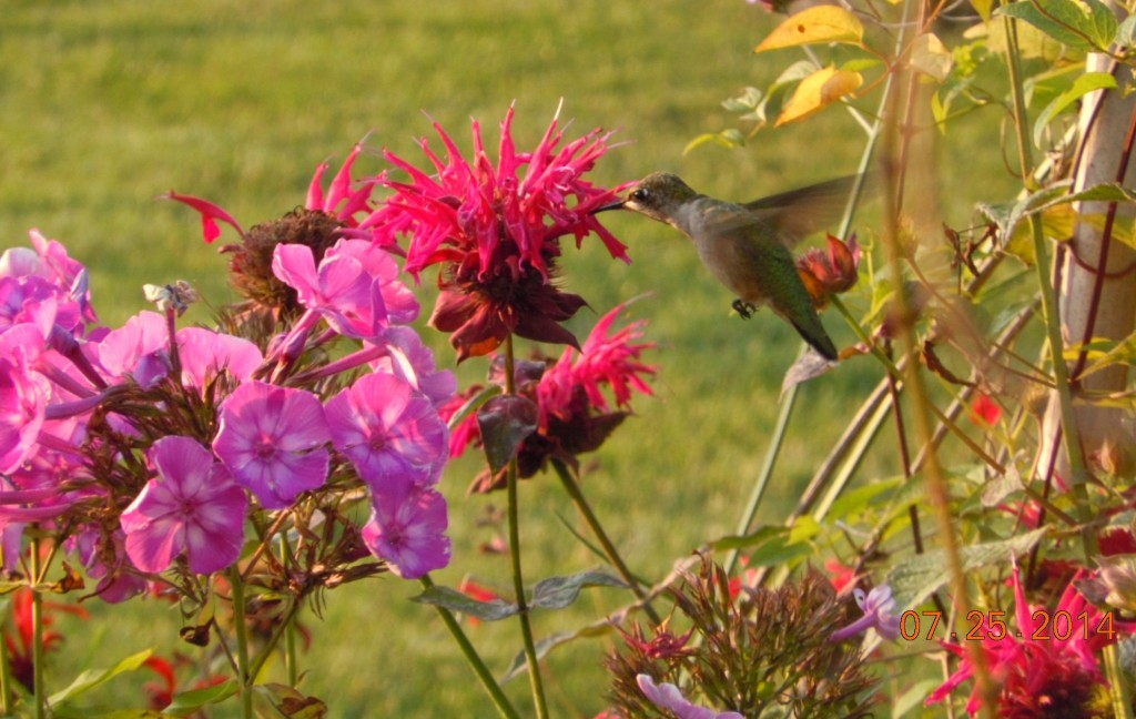 Bee balm is a favorite flower of hummingbirds in my yard. Photo c Alice Raimondo